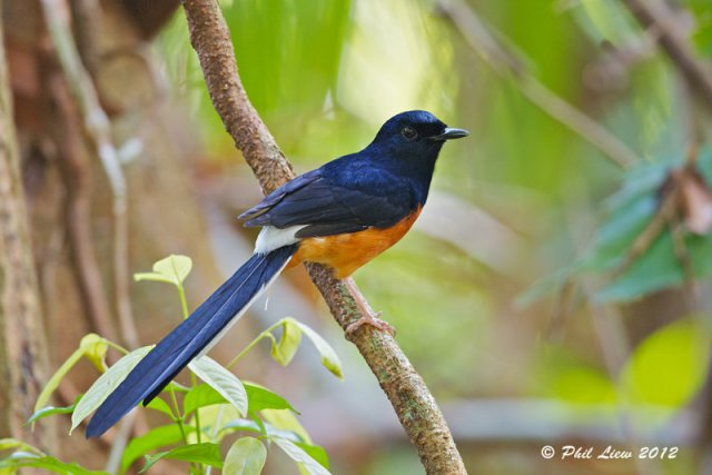 Birds of India   -  White-rumped Shama  (Copsychus malabaricus)  -  Birds of National Parks   -  National Parks