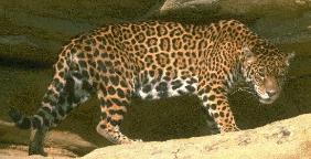 National Parks of South America  Yasuni National Park    Ecuador's biggest national park     Jaguar   Yasuni  Ecuador  National Parks of the World
