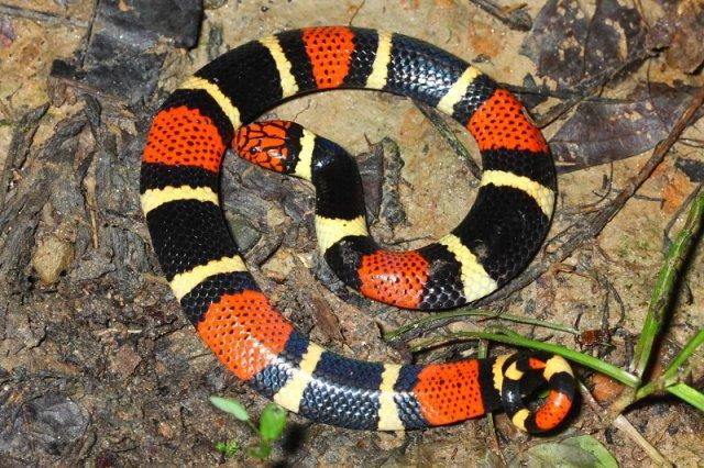 Surinam Coral Snake  Micrurus surinamensis - Elapidae