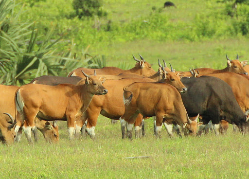 Banteng (Bos javanicus javanicus) Alas Purwo National Park National Parks of the World