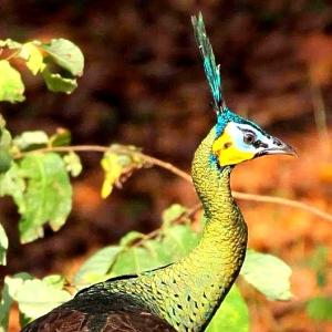Green Peafowl (Pavo muticus)   Alas Purwo National Park National Parks of Indonesia National parks of the world  Java national parks   birds of java  birds of indonesia