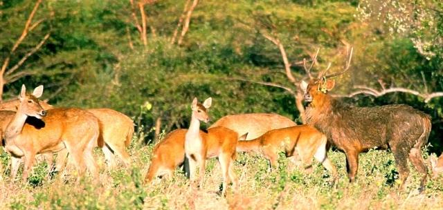 Java Deer (Rusa timorensis)  Alas Purwo National PARK nATIONAL pARKS OF THE wORLD    National Parks of Indonesia  Java National Parks
