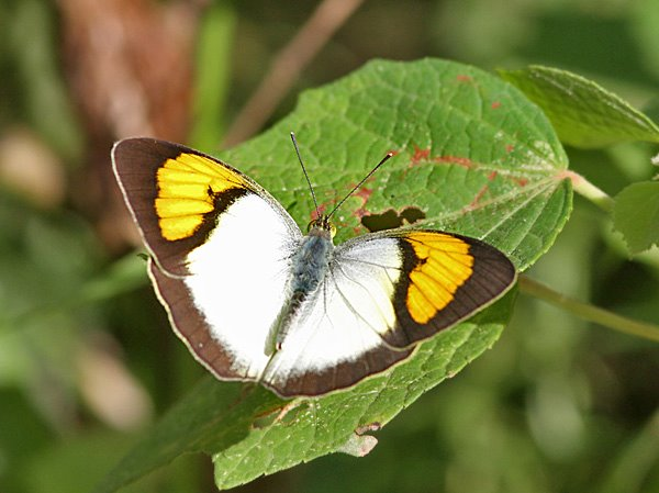Yellow Orange Tip butterfly (Ixias pyrene)   butterfly  Family Pieridae   butterflies of Thailand National Parks of Thailand  Thailand insects  national parks of the world butterflies of the world  thai butterflies  national parks of asia  asian butterflies butterflies of asia