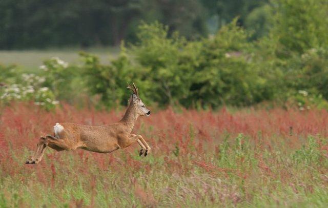 Roe deer (Capreolus capreolus)  National Parks of Belgium National Parks of the World National Parks of Europe mammals Hoge Kempen National Park  European deer mammals of Europe deer of the world