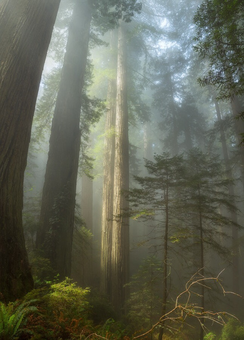 Redwood National Park  - Tall Trees