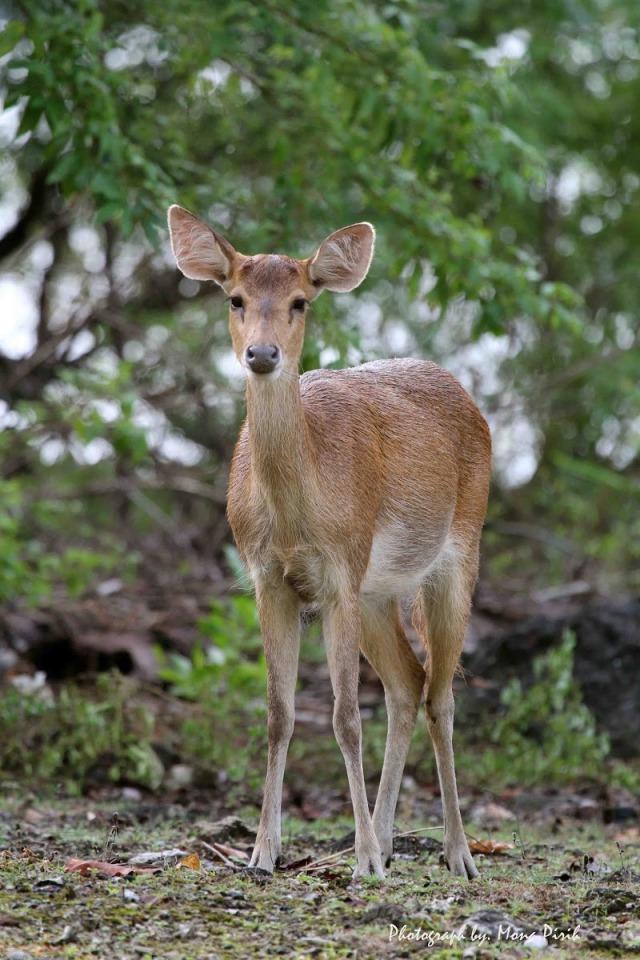Java Deer (Rusa timorensis)