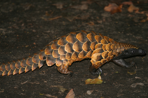 Long-tailed pangolin (Uromanis tetradactyla)